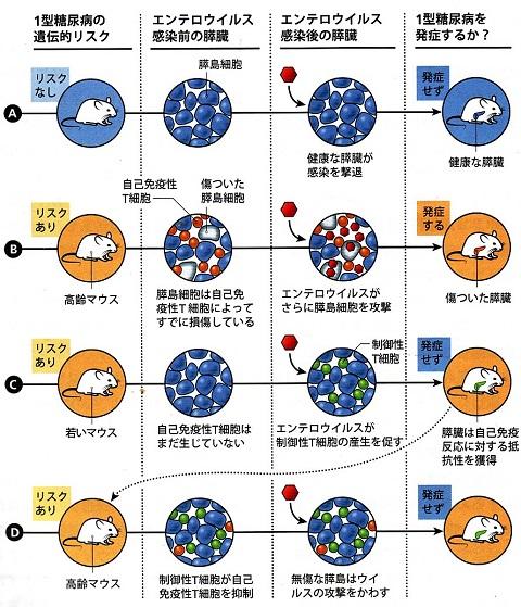 エンテロウイルスと糖尿病.jpg