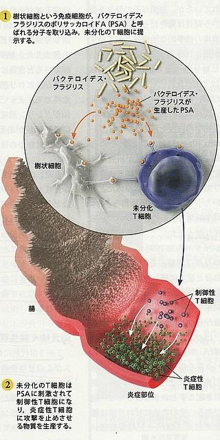 フラジリス菌と免疫.jpg
