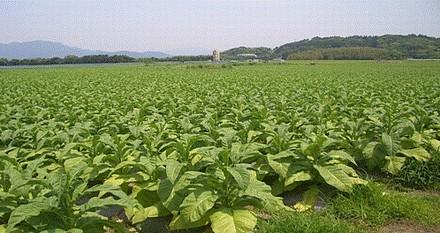 宮崎市のタバコ畑.jpg