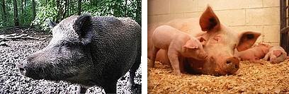 猪と豚.jpg