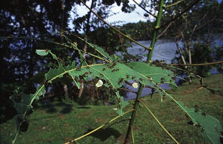 Leafcutter Ants-2.jpg